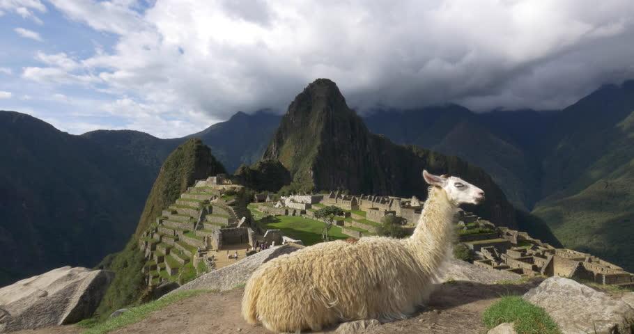 Landscape Shot Of Llama Grazing With Machu Picchu Peru, In ...
