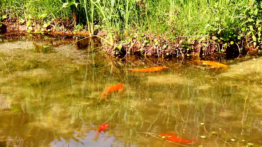 Goldfish and marsh grasses in a man made pond stock for Ornamental pond fish golden