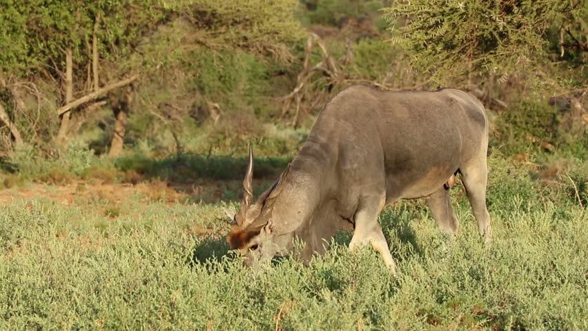 Feeding male eland antelope (Tragelaphus oryx), Mokala National Park, South Africa - HD stock video clip