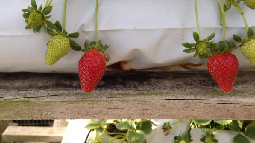 Strawberry at the farm - HD stock footage clip