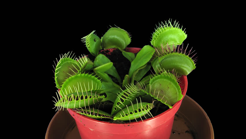 Time-lapse of growing Venus flytrap (Dionaea muscipula) plant 1x3 in UHD 4K PNG+ format with ALPHA transparency channel isolated on black background