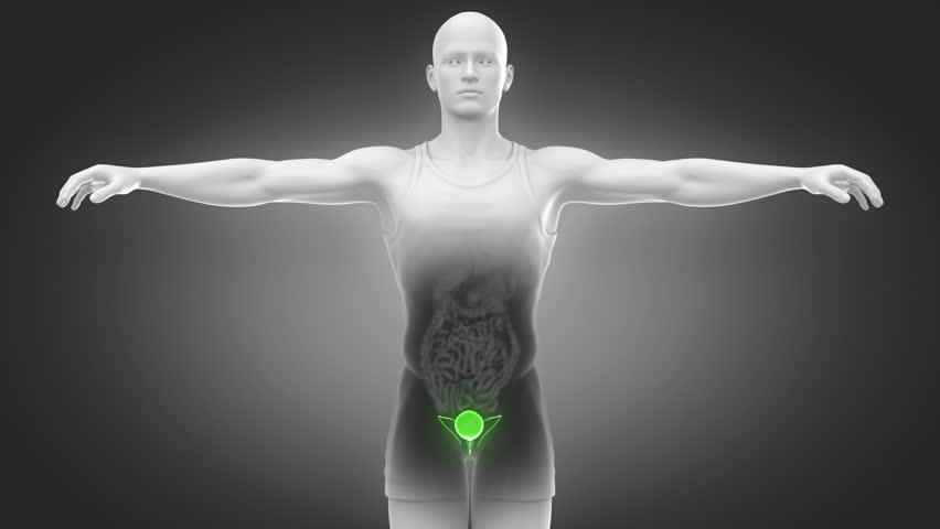 Bladder anatomy in loop - 4K stock footage clip