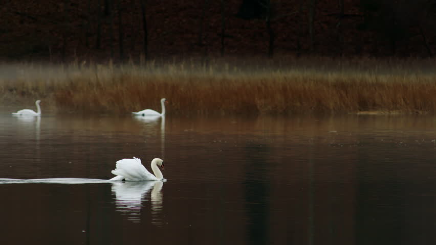 Mute swans racing across water to attack other swans - 4K stock footage clip