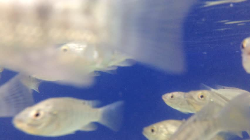 Garra rufa fish footage stock clips videos for Fish spa treatment