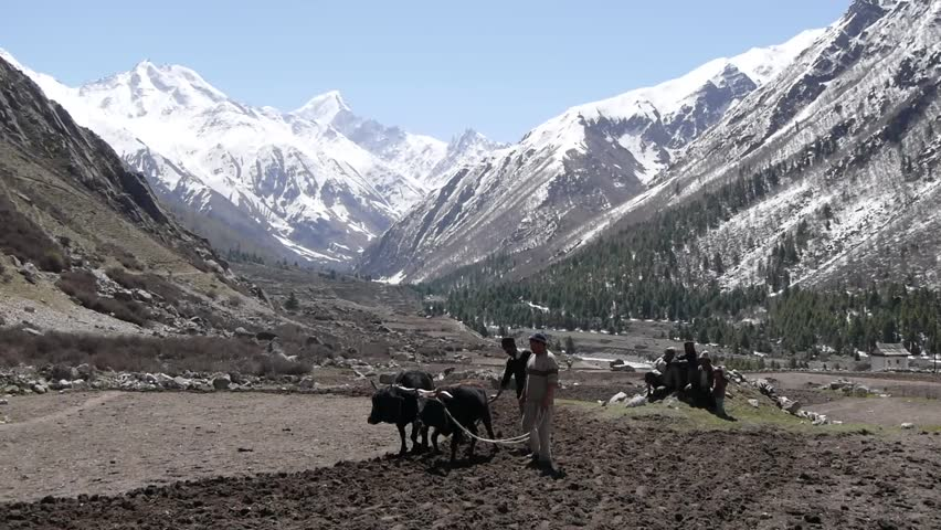 Chitkul,India - May 09,2013: Chitkul in Kinnaur Valley, bulls ploughing the fields - HD stock footage clip