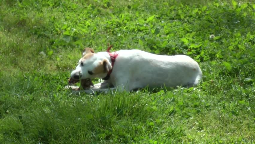 Dog eats a bone of meat. - HD stock video clip