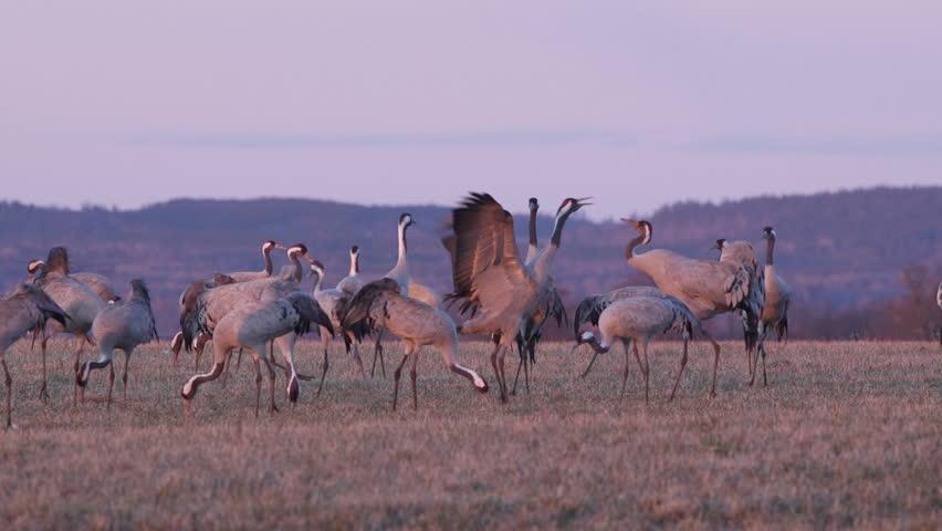 Crane birds trumpeting calling in late evening light - HD stock video clip