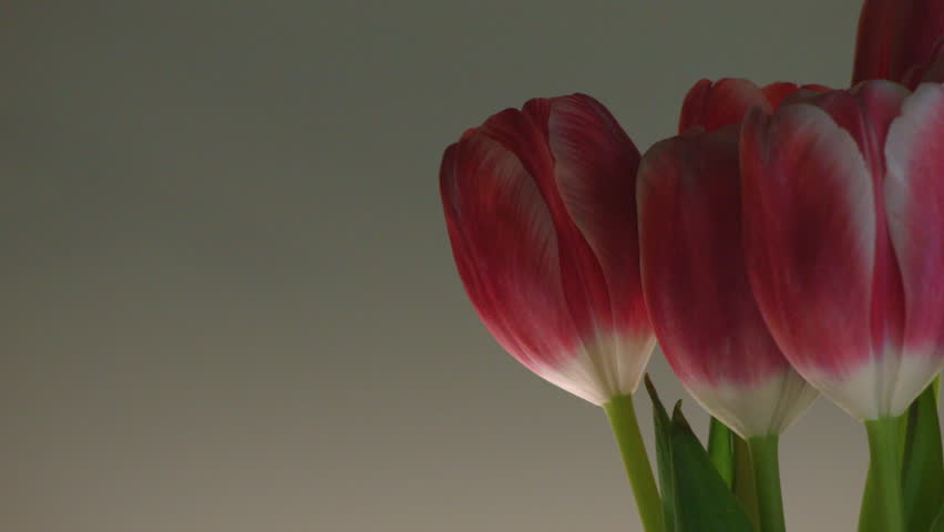 OFFSET CLOSE UP OF RED & PINK TULIPS ROTATING AGAINST A CLEAN BACKGROUND. #9709829