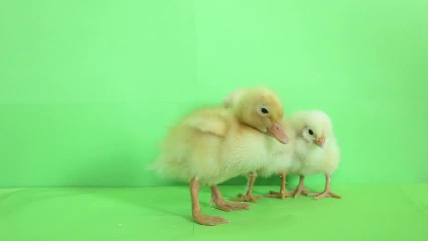 green background duck and baby chicks - HD stock video clip