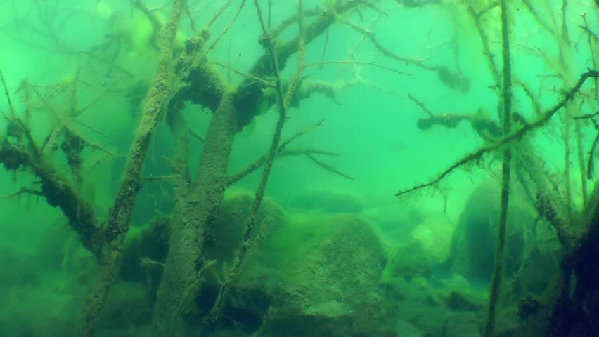 Underwater landscape: Swim among the sunken trees in a freshwater lake, wide shot. Mykolaiv region. Ukraine.
