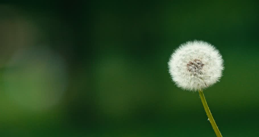 Dandelion being blown in slow motion 120 fps. Filmed in 4K DCi resolution. Dandelion seeds are being blown and flying away on a green background.