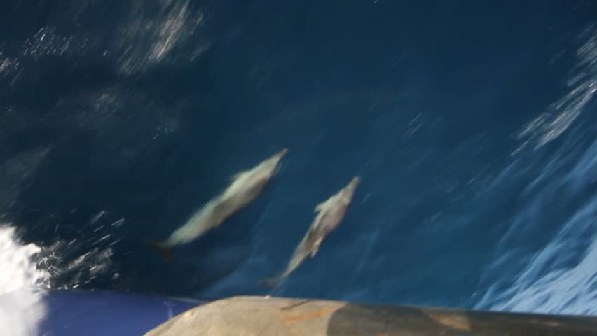 Dolphins jumping close to the bow of a vessel - HD stock footage clip