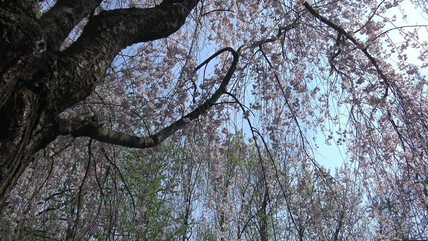 Pink Cherry Blossoms or Sakura flowers in full bloom in the springtime , 4K Nature footage 2015 | Shutterstock HD Video #9955880