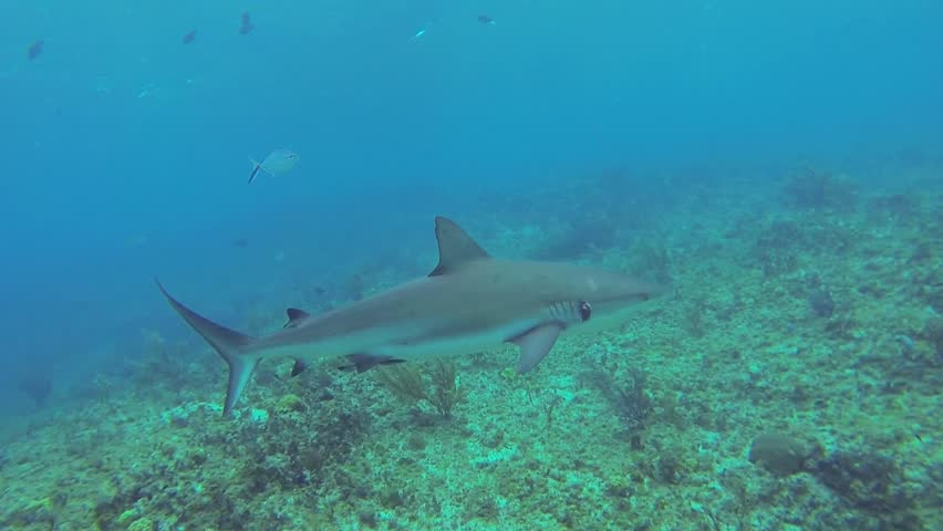 Beautiful full HD footage of a Caribbean reef shark (Carcharhinus perezii) in the Bahama's - HD stock video clip
