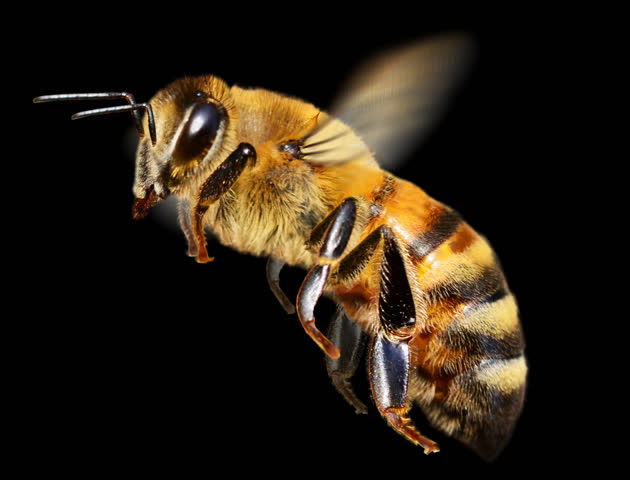 Honey bee in flight. It contains an alpha channel. Cyclic animation. | Shutterstock HD Video #9993293